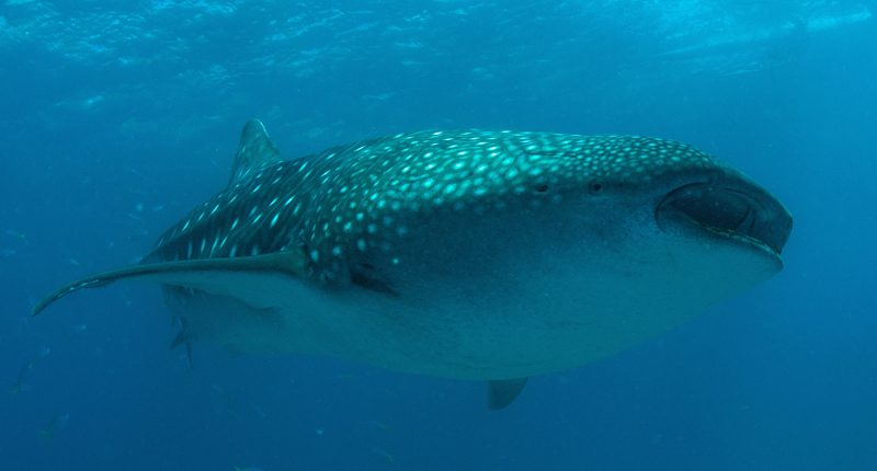 Whale Shark Magic Island Dive Resort Moalboal