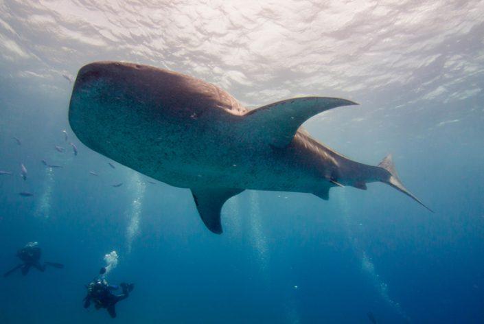 Walhai und Sardine