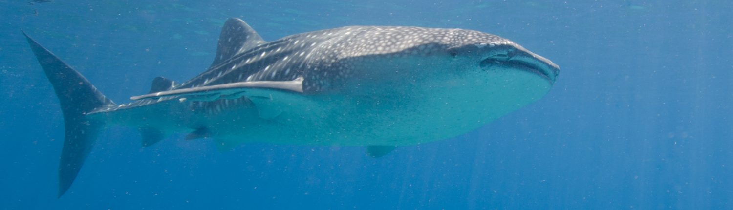 Whale shark at Moalboal