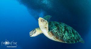 Turtle at Moalboal Sardine Run - Scubaverse