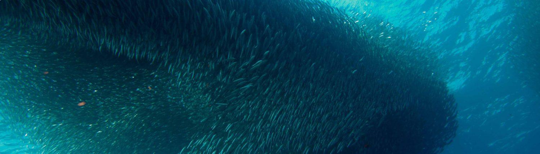 Sardines Moalboal Magic Island Dive Resort