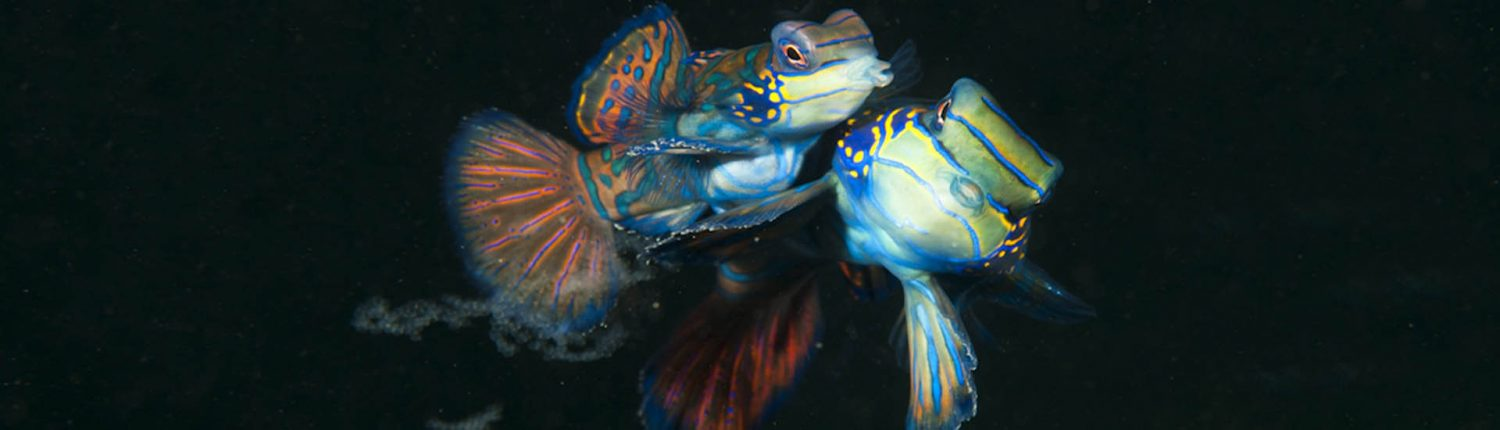 Mandarinfish Magic Island Moalboal Cebu