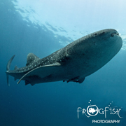 Whalesharks of Oslob - Frogfish Photography